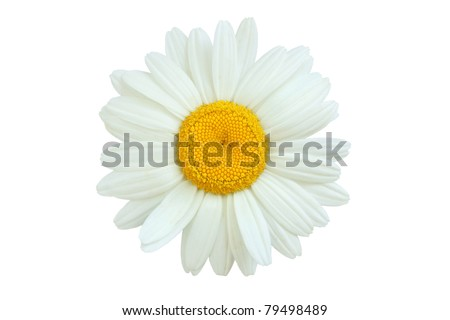 daisy isolated  on white - stock photo
