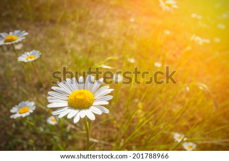 Daisy on a meadow in the sun. Tech backlight and shallow depth of field - stock photo