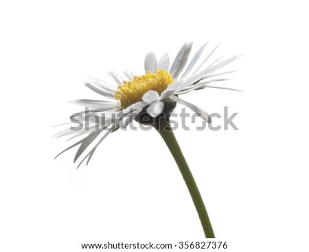 daisy on white - stock photo