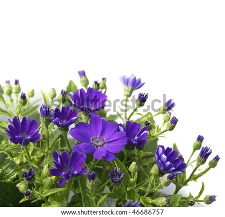 Daisy plant with small purple flowers set against a white background - stock photo
