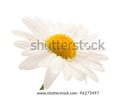daisy with dew drops isolated on white background - stock photo
