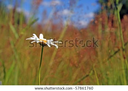 daisywheel on field - stock photo