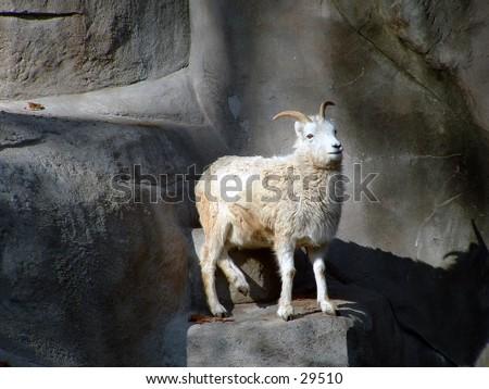 dall sheep at the zoo - stock photo