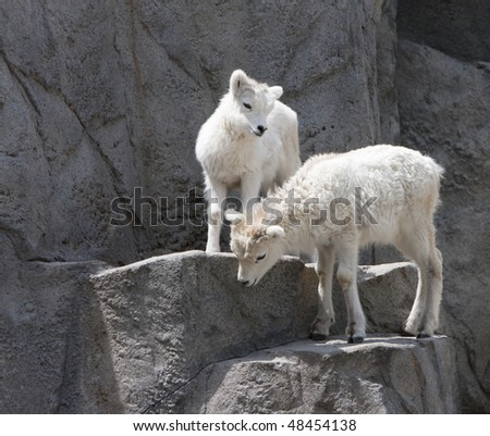 Dall sheep lambs - stock photo