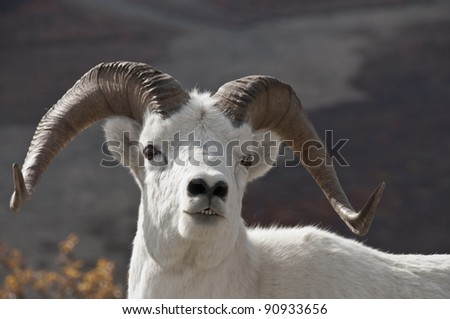 Dall Sheep Ram (Ovis dalli) is the animal that Denali National Park was created to protect. Alaska. - stock photo