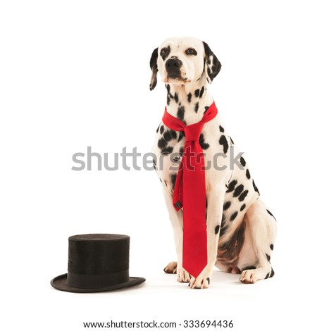 Dalmatian dog as groom for the wedding isolated over white background - stock photo
