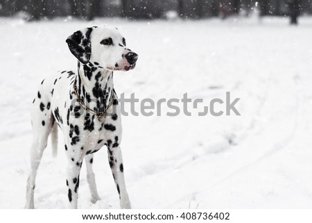 Dalmatian Dog In Winter In Snow - stock photo