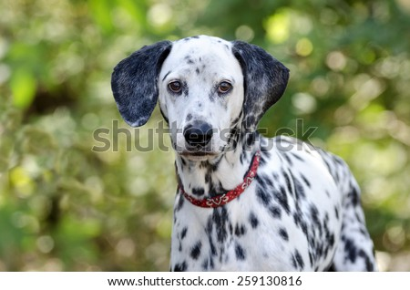 Dalmatian dog is looking and staring with a nicely green blurred background.. - stock photo