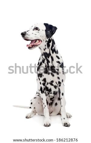 Dalmatian dog, isolated on white - stock photo