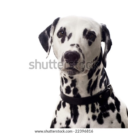Dalmatian dog isolated on white with copyspace. - stock photo