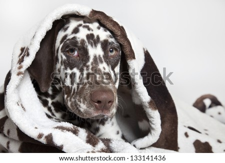 dalmatian dog portrait, dalmatian dog - stock photo