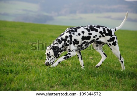 Dalmatian Dog sniffing - stock photo