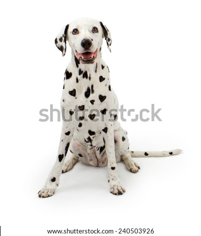 Dalmatian dog with heart-shaped black spots on its fur sitting on a white background - stock photo