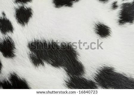 stock-photo-dalmatian-fur-detail-1684072
