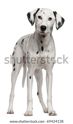 Dalmatian, 18 months old, standing in front of white background - stock photo