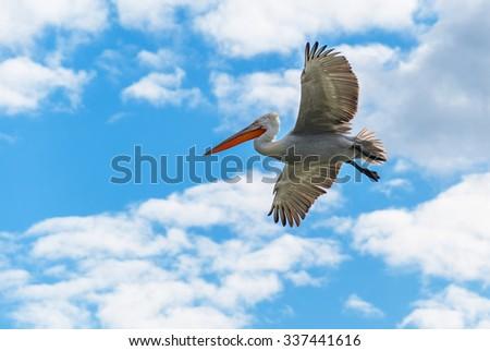 Dalmatian pelican flying - stock photo