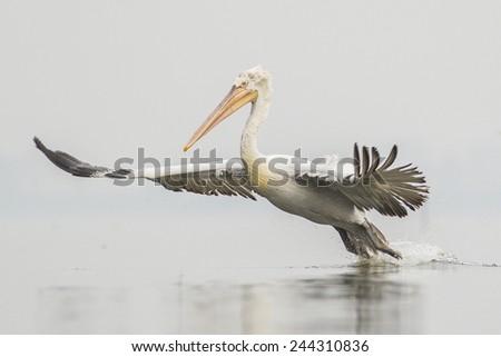 Dalmatian Pelican in flight - stock photo