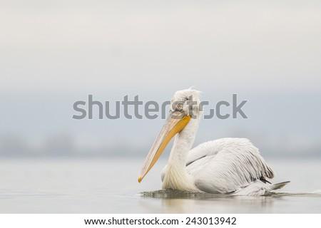 Dalmatian pelican on kerkini lake - stock photo