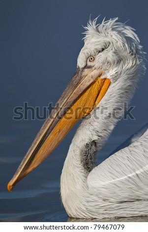 Dalmatian Pelican portrait ( Pelecanus crispus ) - stock photo