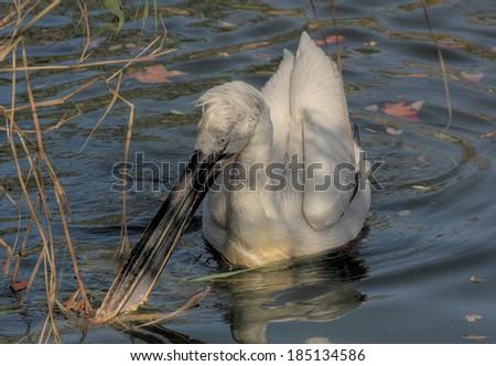 Dalmatian Pelican swimming on a river - stock photo
