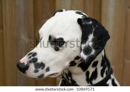 Dalmatian portrait in front of a wooden fence.