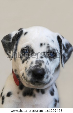 Dalmatian puppy, blue-eyed, portrait - stock photo