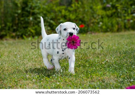 Dalmatian puppy in a meadow - stock photo