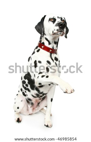 Dalmatian puppy in red collar. Isolated white background - stock photo