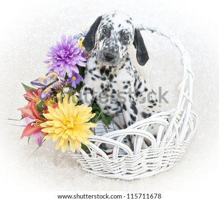 Dalmatian puppy sitting in a basket of flowers, on a white background.