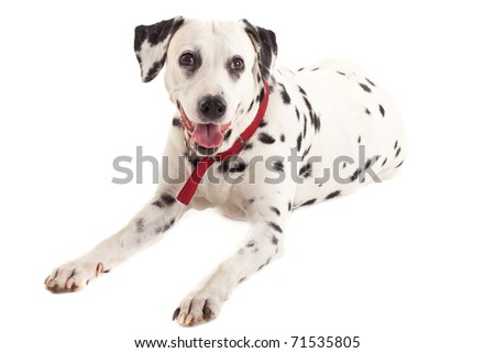 Dalmatian sitting in front of a white back ground - stock photo