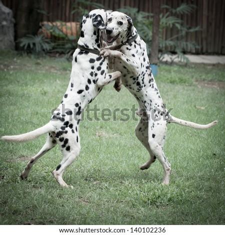 dalmatian spotty dog pet playing - stock photo