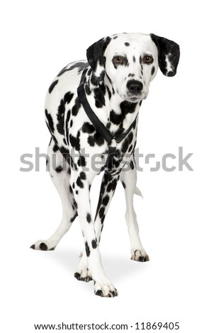 Dalmatian (7 years) in front of white background - stock photo