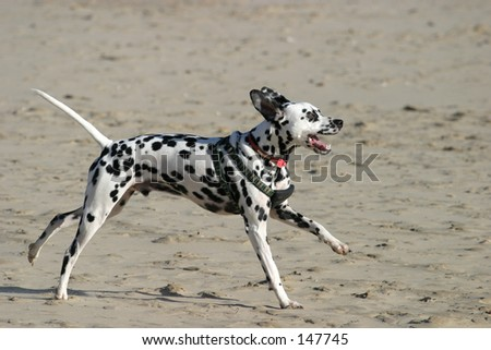 Dalmation charging on beach