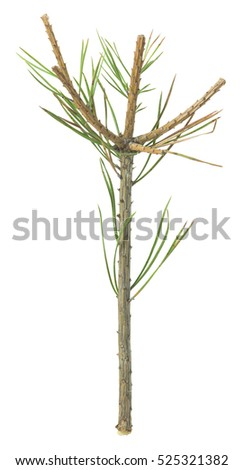 Damage on pine plant caused by elk, Alces isolated on white background