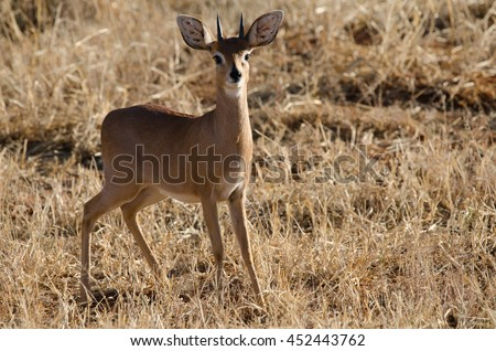 Damara dik dik ready to run, Namibia. - stock photo