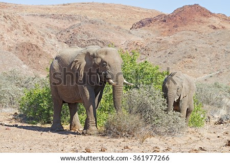Damaraland elephants adapted to the desert feeding on leaves in bushes