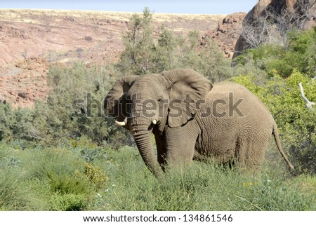 Damaraland, Namibia, Africa - October 5, 2011: A wild elephant stands amongst the fresh green vegetation landscape of Damaraland, Namibia, Africa. - stock photo
