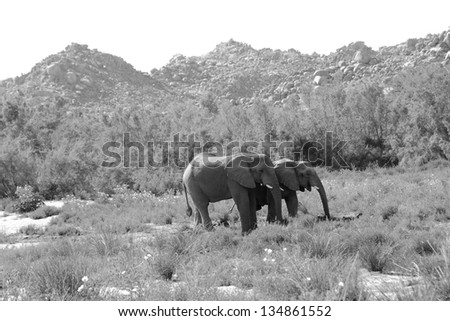 Damaraland, Namibia, Africa - October 5, 2011: Two wild elephants stand stand together amongst the landscape of Damaraland, Namibia, Africa. - stock photo