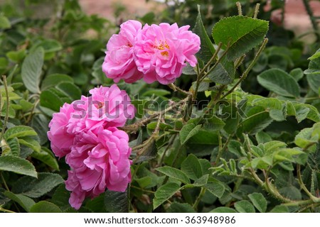 Damascus pink rose in a garden - stock photo