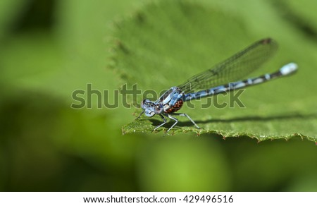 Damsel Fly with Water Mites - stock photo