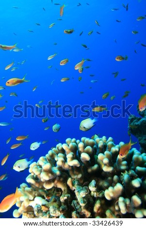 Damselfishes and Anthias and Acropora Coral