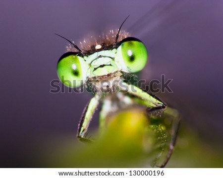 Damselfly - stock photo