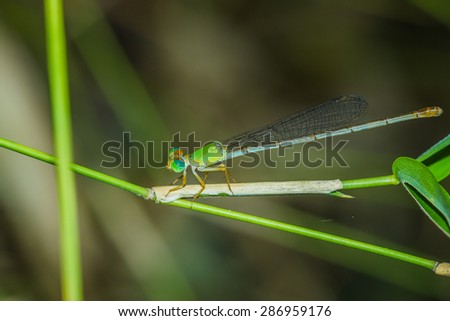 Damselfly (common feature: when the island still with the wings on either side of the splice. Both wings and the outer pair.)