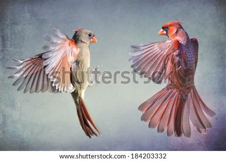 Dance of the Redbirds - stock photo