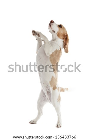 dancing dog beagle on a white background in studio - stock photo