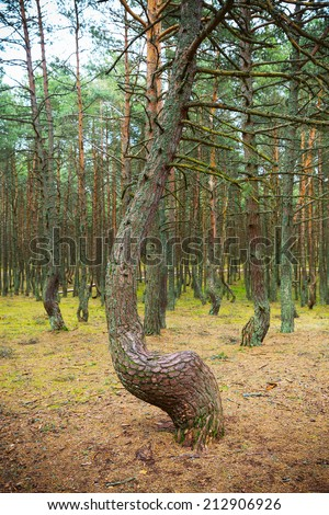 Dancing forest. - stock photo