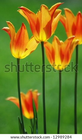 Dancing In The Breeze-Orange and Yellow Tulips - stock photo