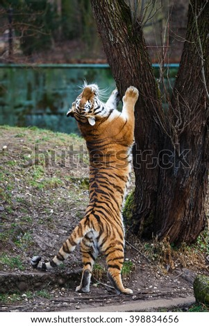 Dancing siberian tiger nearby the tree at autumn time - stock photo