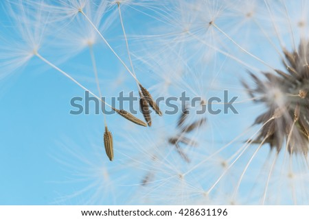 Dandelion abstract background. White blowball over blue sky. Shallow depth of field. - stock photo