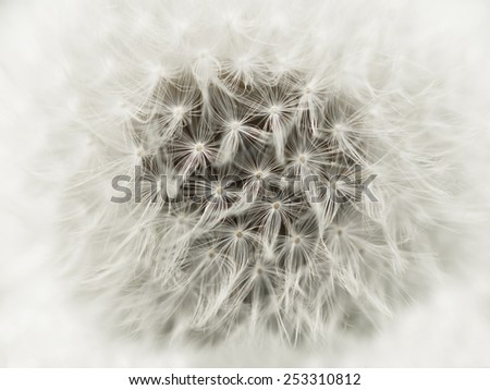 Dandelion abstract closeup - stock photo
